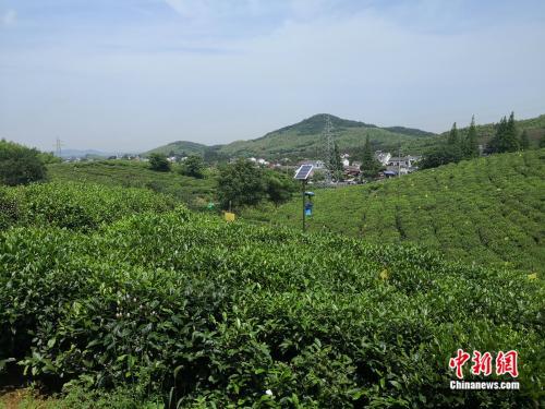 黄龙岘成片的茶树。袁秀月 摄
